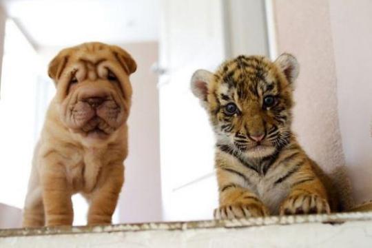 pies i tygrysy