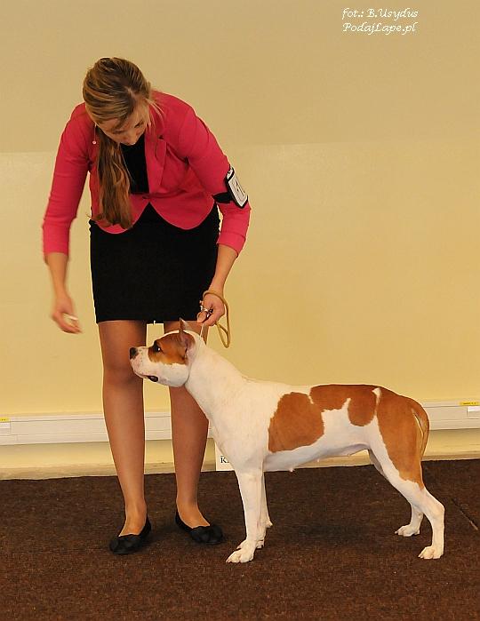 Wystawa Psów Katowice 2013 - American Staffordshire Terrier