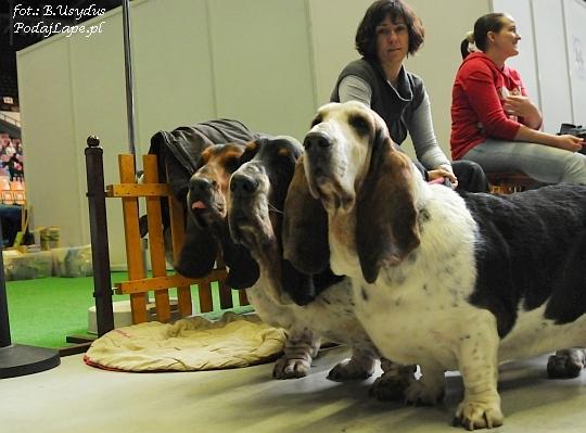 Wystawa Psów Katowice 2013 - Basset hound