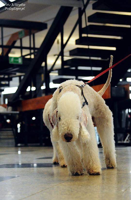 Wystawa Psów Katowice 2013 - Bedlington Terrier