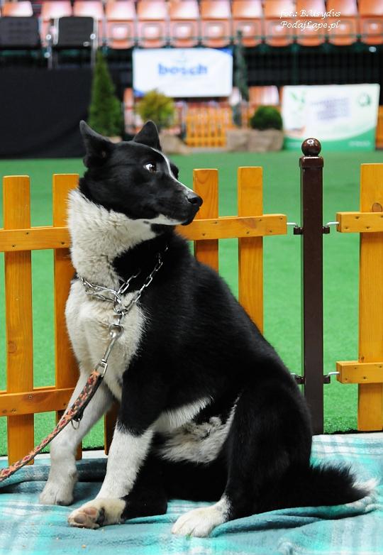 Wystawa Psów Katowice 2013 - Karelski pies na niedźwiedzie
