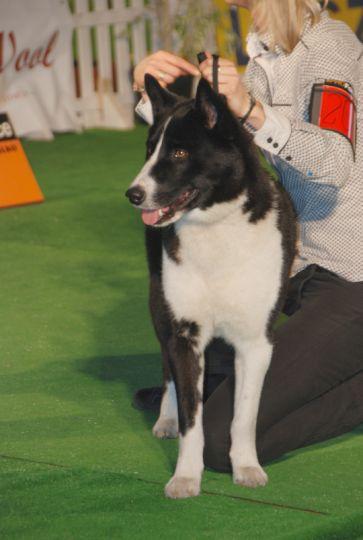 Karelski Pies na Niedziwiedzie