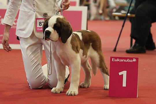 WORLD DOG SHOW - Światowa Wystawa Psów - Budapeszt 2013 - Najpiękniejsze baby dnia 17.05.2013
